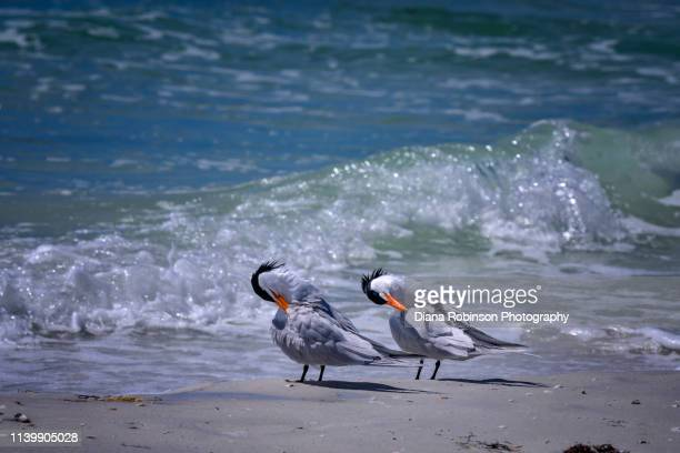 two royal terns on whitney beach on longboat key near sarasota, florida - royal tern stock photos and pictures