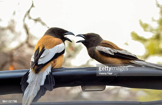 Two Rufous Treepies' on a gypsy/Ranthambore National Park