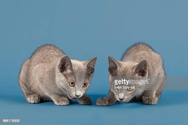 two russian blue kitten, 10 weeks - animal doméstico - fotografias e filmes do acervo