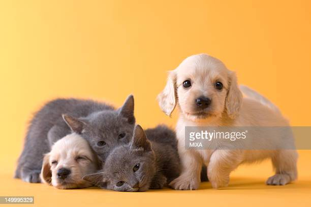 Two Russian Blue Kittens and Two Dachshund Puppies