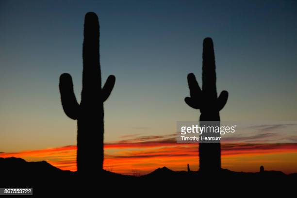 two saguaro cacti silhouetted against a colorful sunset sky - timothy hearsum stockfoto's en -beelden