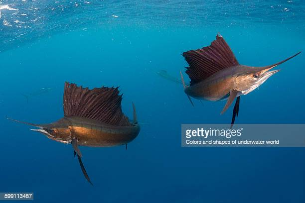 Two Sailfish hunters
