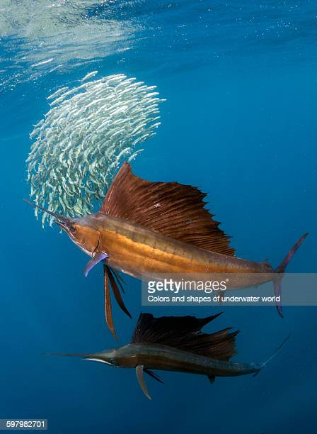 Two sailfish hunting