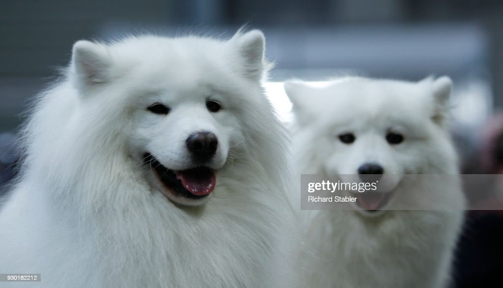 2018 Crufts Dog Show Day Two : News Photo