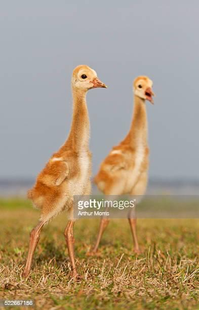 Two sandhill crane chicks