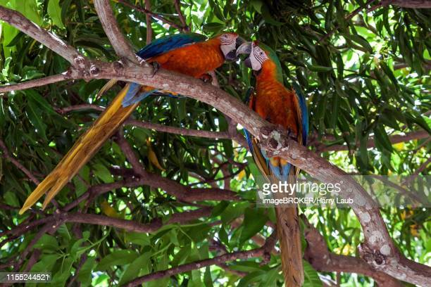 two scarlet macaws (ara macao), animal pair sitting on a branch in a tree and beaking, guanacaste province, costa rica - papagayo guanacaste fotografías e imágenes de stock