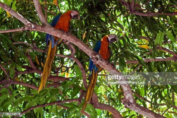 two scarlet macaws (ara macao), animal pair sitting on a branch in a tree, guanacaste province, costa rica - papagayo guanacaste fotografías e imágenes de stock