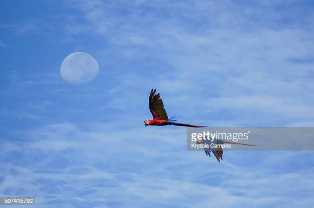Two Scarlet Macaws (Ara macao) flying in front of the moon