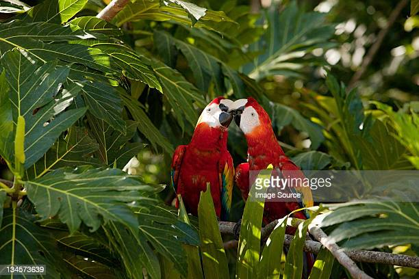 two scarlet macaws in tree - honduras stock pictures, royalty-free photos & images
