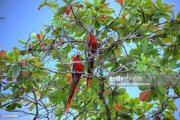 Two scarlet macaws sit in a beach almond tree in Osa Peninsula