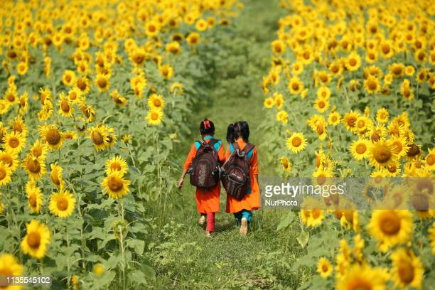 Two school girl walk through the sunflower field at Suborno Char in Noakhali Bangladesh on April 4 2019 The sunflower plantation is increasing day by...