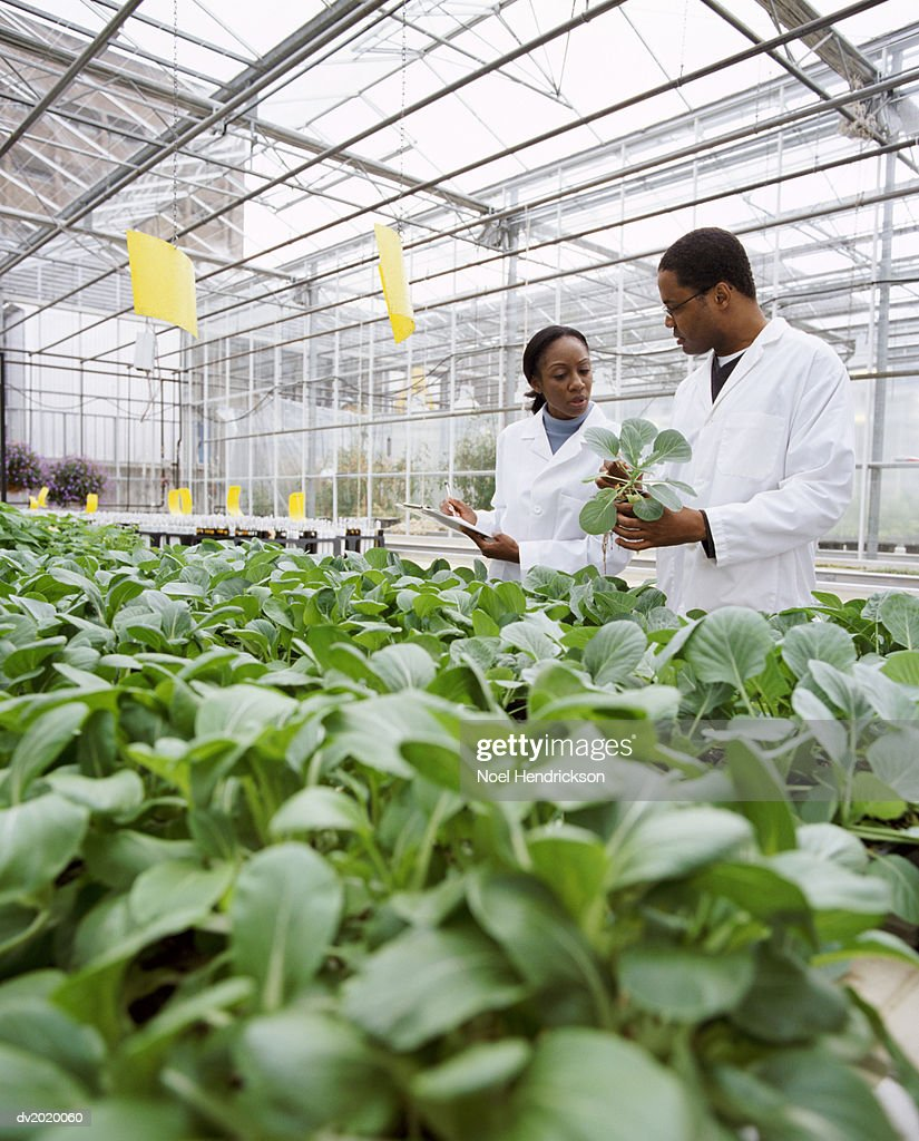 Two Scientists Standing Side by Side and Looking Down at a Plant in a Greenhouse : Stock Photo