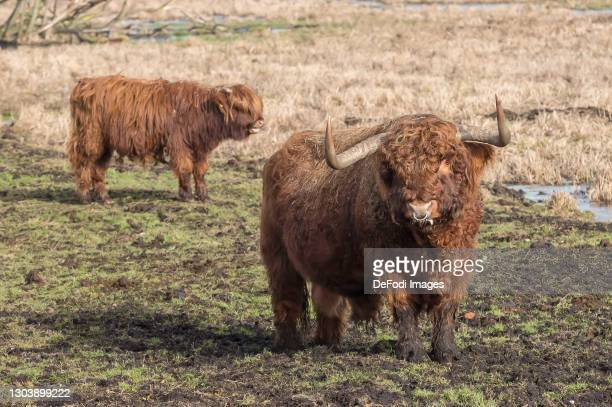 Two Scottish highland cattle on a meadow in the Gundelfinger Moos on February 22, 2021 in Guenzburg, Germany.