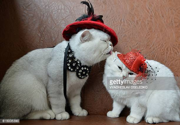 TOPSHOT Two Scottish shorthair cats dressed with red hats are pictured during a cat exhibition in Bishkek on October 16 2016 Cat lovers from...