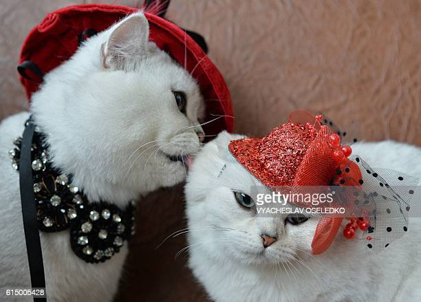Two Scottish shorthair cats dressed with red hats are pictured during a cat exhibition in Bishkek on October 16 2016 Cat lovers from Kyrgyzstan...