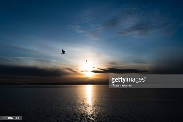 two sea gulls fly above the puget sound at sunset - blue hour stock-fotos und bilder