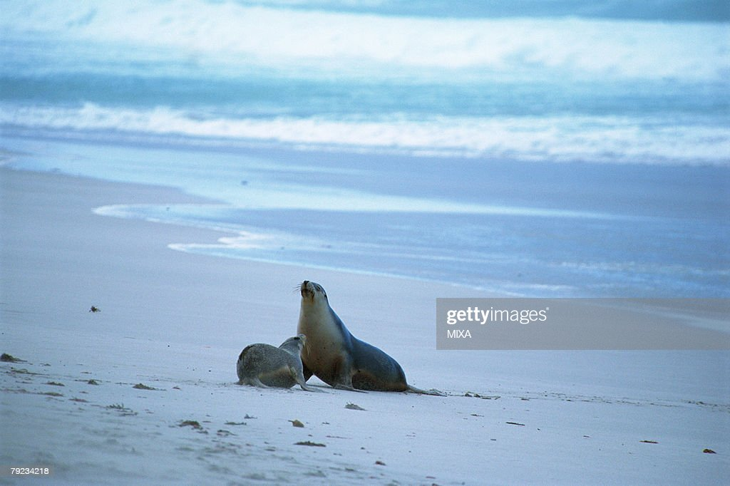 Two sea lions at the seashore, Australia : Stock Photo