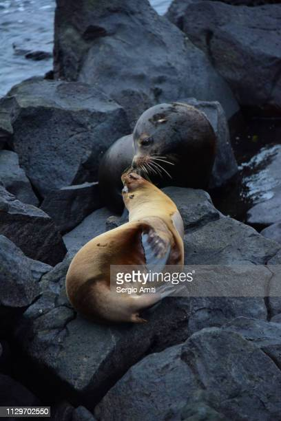 Two sea lions kissing in San Cristobal, Galapagos Island