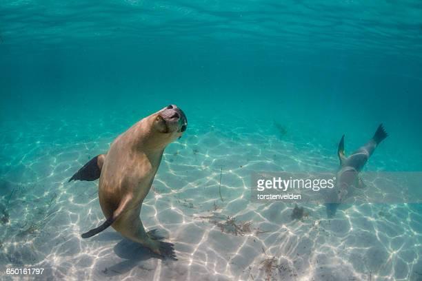 Two sea lions swimming underwater, Hopkins Island, Port Lincoln, Australia