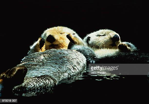 two sea otters (enhydra lutris) floating on water - sea otter stock photos and pictures