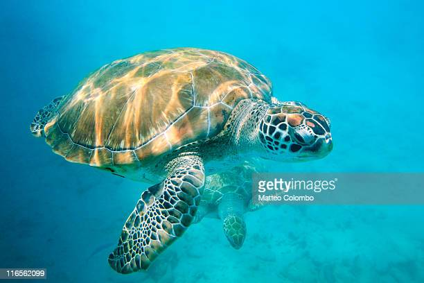 two sea turtles - barbados stock pictures, royalty-free photos & images