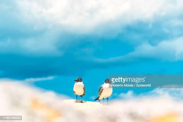 two seagulls, caribbean, central america - isla martinica fotografías e imágenes de stock