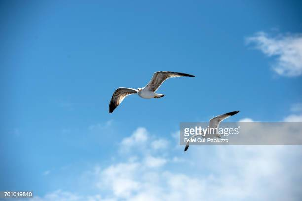 two seagulls flying on the aegean sea at kavala,  eastern macedonia, northern greece - カモメ科 ストックフォトと画像