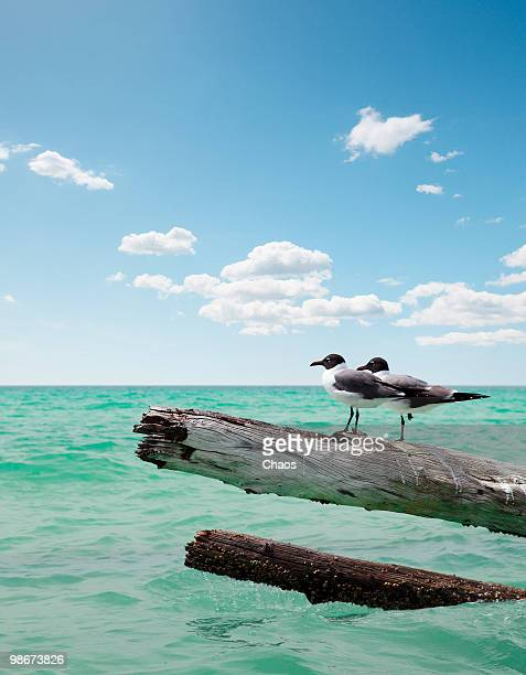 two seagulls sitting on dead trees - sarasota stock photos and pictures