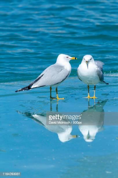 two seagulls talking - サルニア ストックフォトと画像