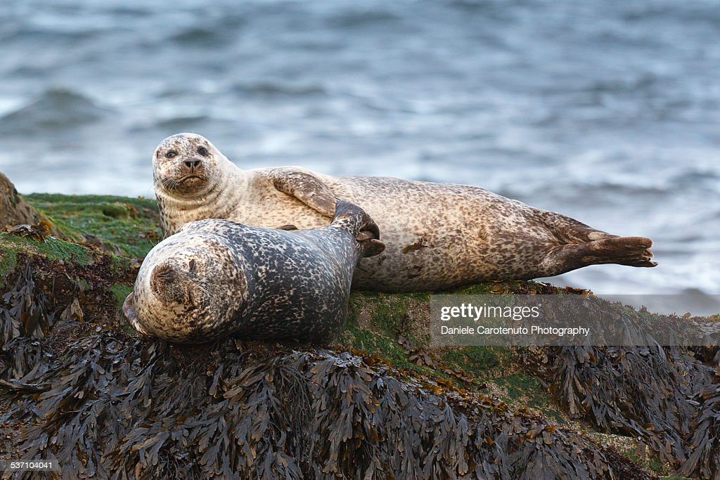 Two seals : Stock Photo