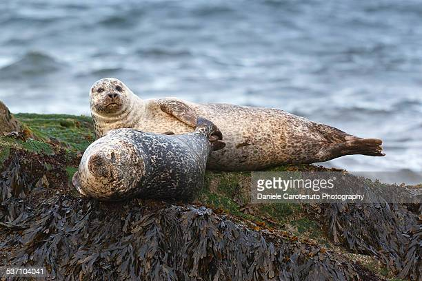 two seals - daniele carotenuto stock pictures, royalty-free photos & images