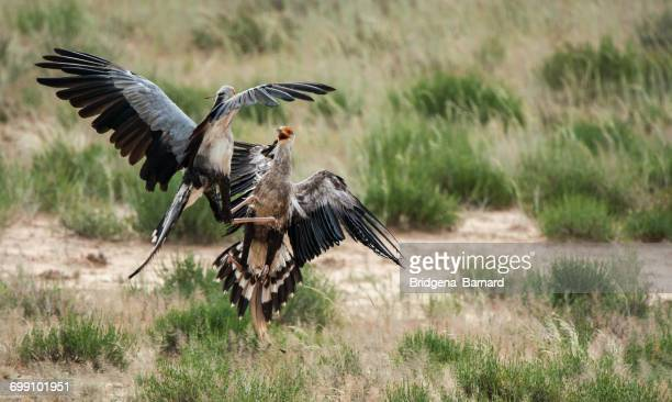 Two Secretary birds fighting, South Africa