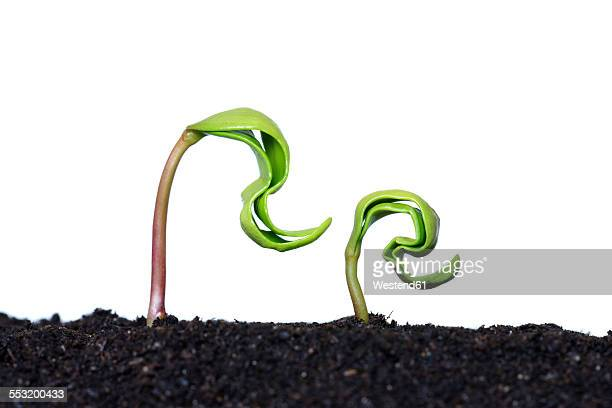 Two seedlings of maple tree in front of white background