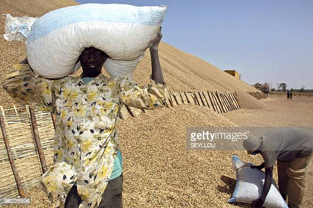 Two Senegalese workers carry bags containing peanuts on March 22 2005 at harvesting point of SONACOS company in Lyndiane at outskirts of city of...