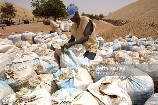 Two Senegalese workers patch up bags containing peanuts on March 22 2005 at harvesting point of SONACOS company in Lyndiane at outskirts of city of...