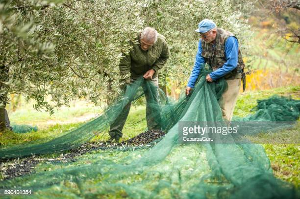 two senior farmers collecting ripe olives from the net - olive orchard stock photos and pictures
