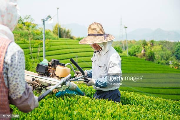 Two senior farmers harvesting green tea leaves