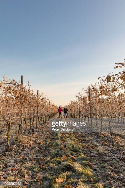 two senior ladies walking in a vineyard - agricultural occupation stock pictures, royalty-free photos & images