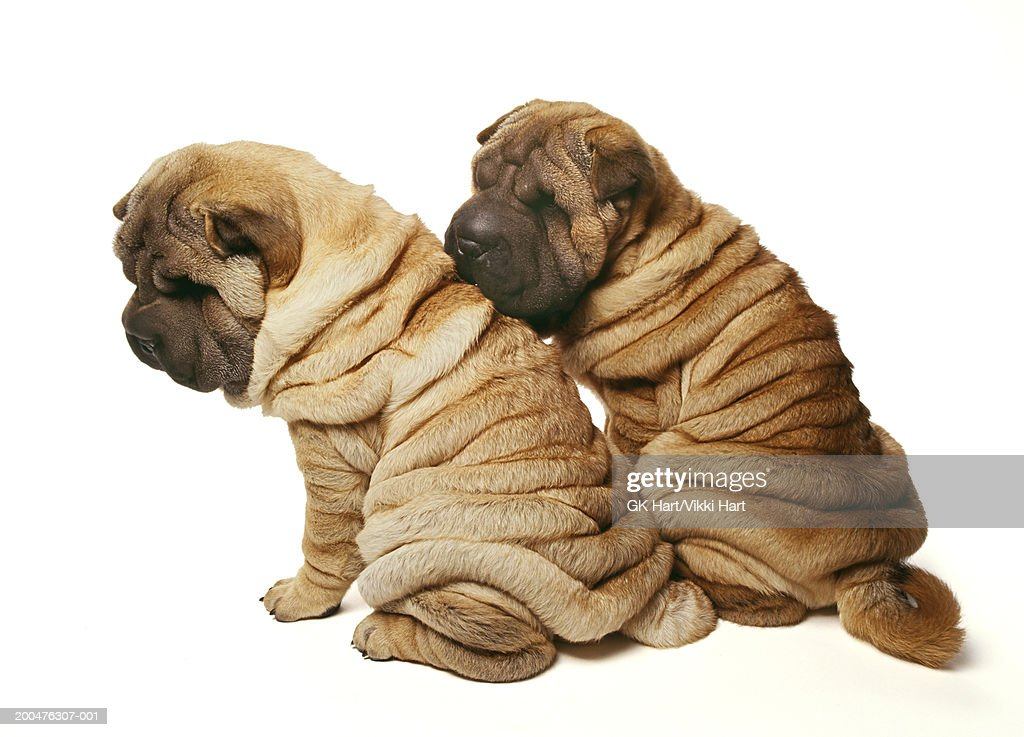 Two Sharpei Puppies Against White Background Rear View Stock