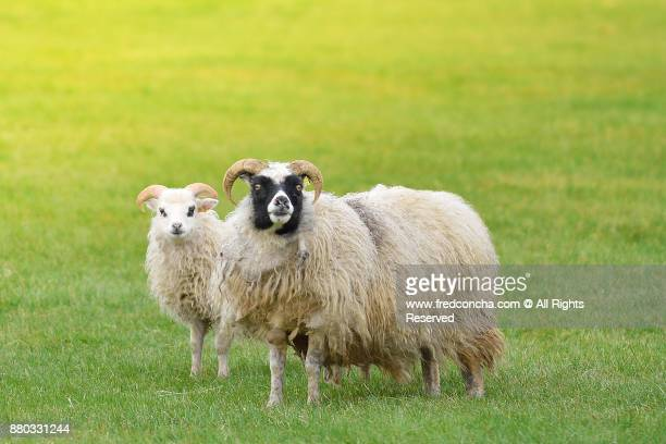 Two sheep grazing in a field of small flowers.