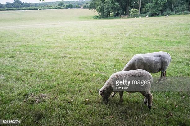 Two sheep grazing
