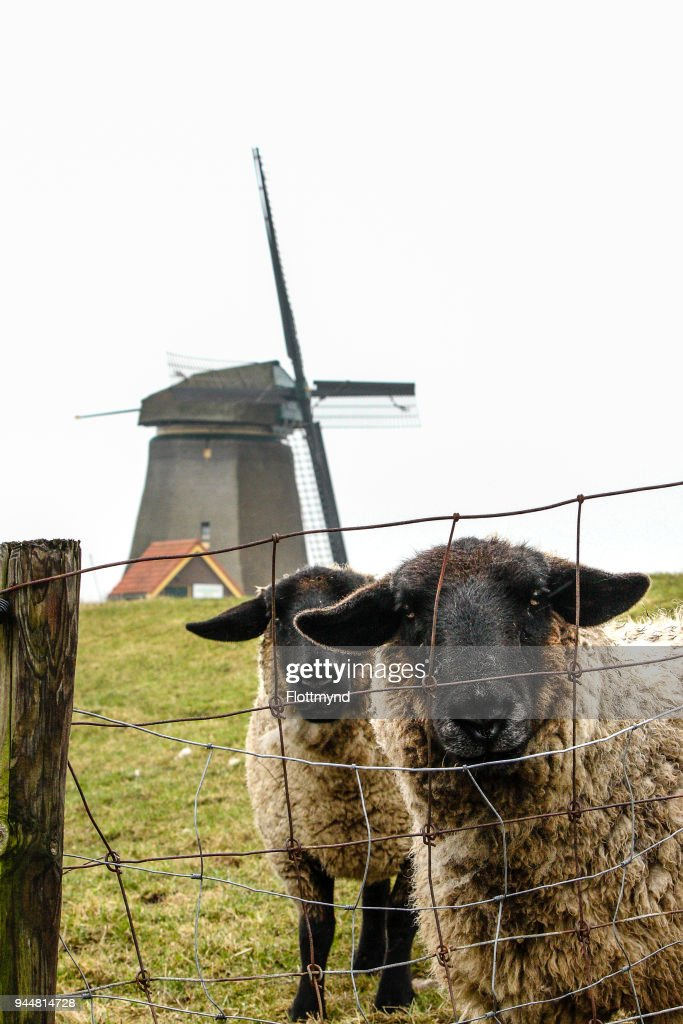 Two sheep in front of a windmill in Bergen the Netherlands : Stock Photo