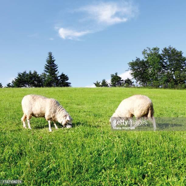 two sheep on green grass - osterlamm stock-fotos und bilder