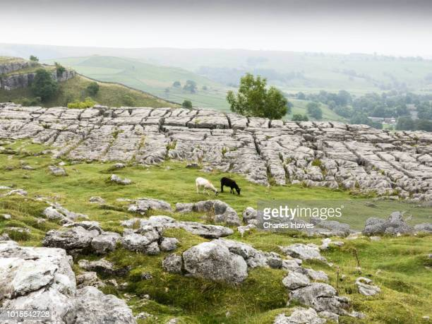 two sheep on limestone pavement at top of malham cove;image taken from the dales high way trail between skipton and dent in september; the area is withing the yorkshire dales national park in the uk. - limestone pavement stock pictures, royalty-free photos & images