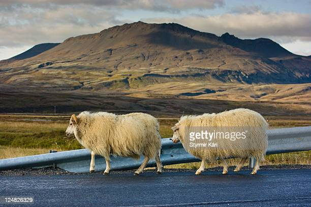 two sheep - icelandic sheep stock photos and pictures