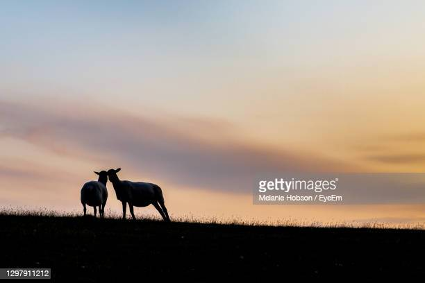 two sheep rubbing heads on a hillside at sunset - sheep stock pictures, royalty-free photos & images