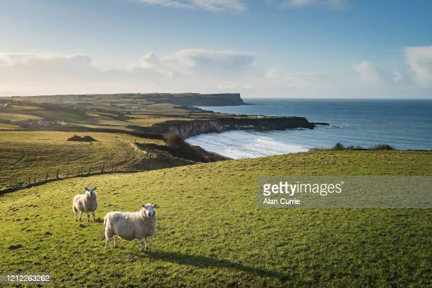 two sheep standing in field at sunset with sea background and rolling hills - county antrim stock pictures, royalty-free photos & images