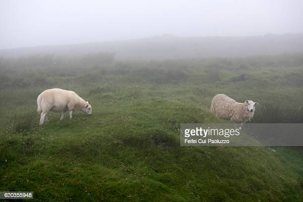 Two sheeps at Neist Point in Isle of Sky of Scotland