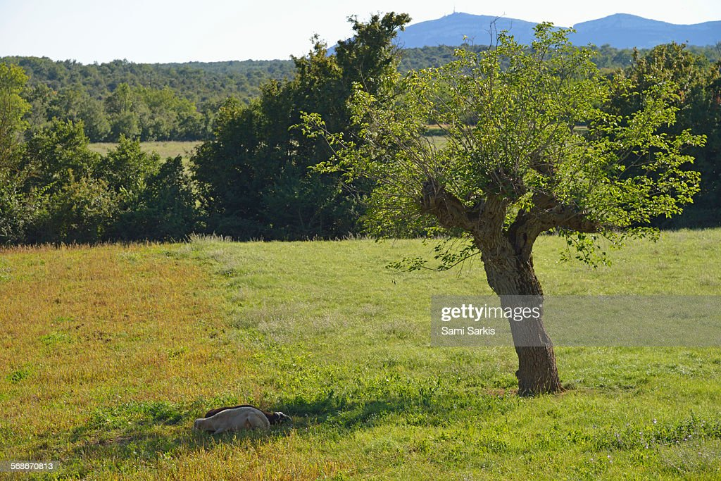 Two sheeps lying in the grass by a tree : Stock Photo