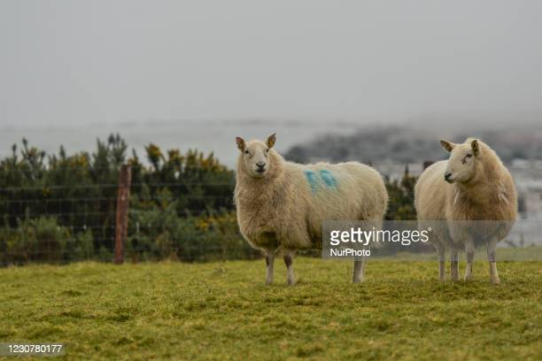 Two sheeps seen in a field near Hollywood village, County Wicklow, during Level 5 Covid-19 lockdown. On Sunday, 24 January in Dublin, Ireland.